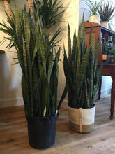 Load image into Gallery viewer, Snake Plant (Sanseveria)