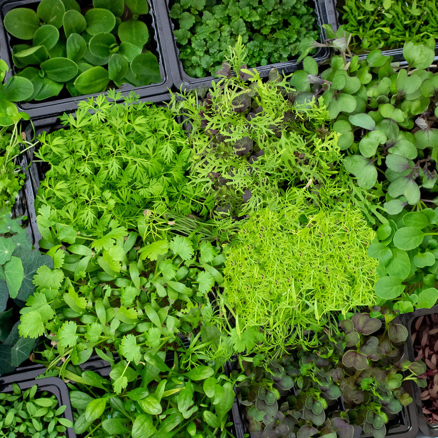 LIVE Herbs & Microgreens Box - 16 varieties