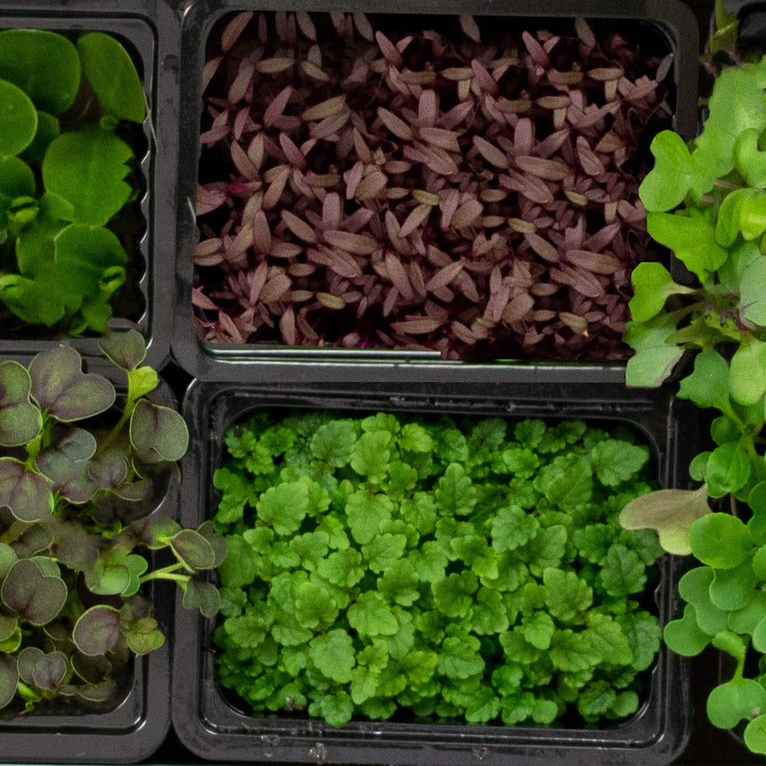 LIVE Herbs & Microgreens Box - 8 varieties