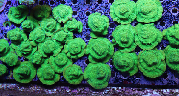Possible wholesale coral