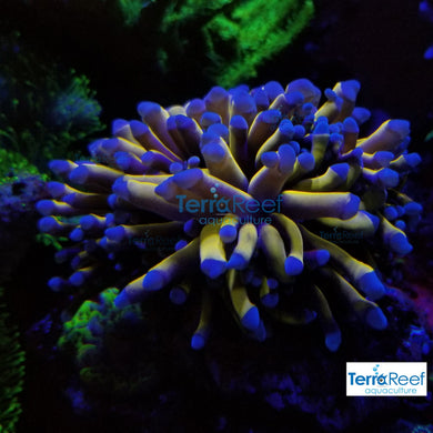 Aussie Gold Torch Coral Small WYSIWYG Frag 2