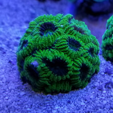 Load image into Gallery viewer, Green Brain Coral Frag Favia Stock
