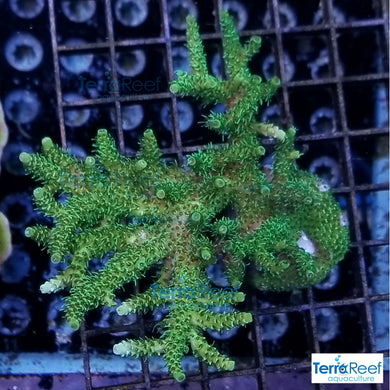 Frilly Green Acropora Acro Coral WYSIWYG Colony 2