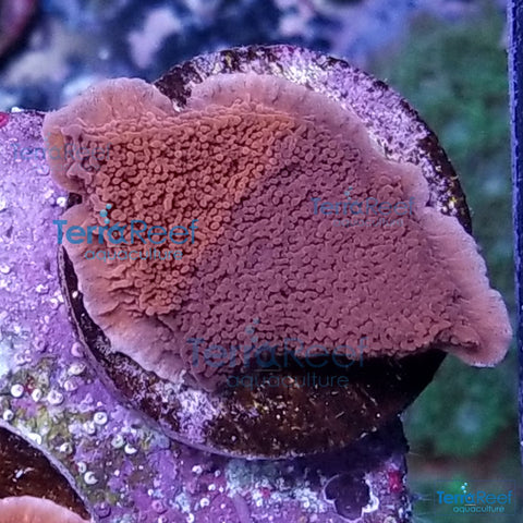 Grafted ORA Purple and Red Monti Cap Frag Stock WYSIWYG 1