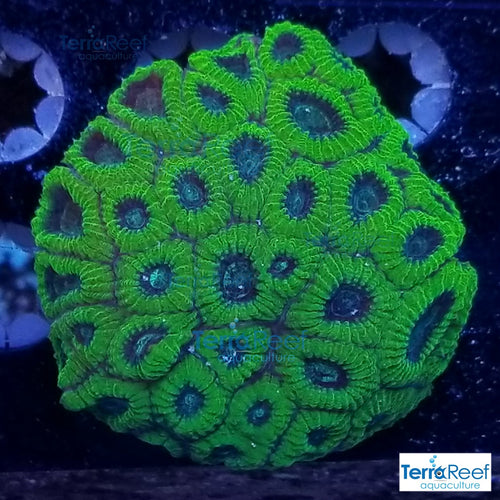 Green Brain Coral Frag WYSIWYG Colony 3