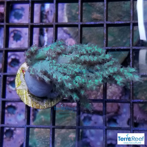 Green Finger Leather Coral WYSIWYG Coral Frag 3