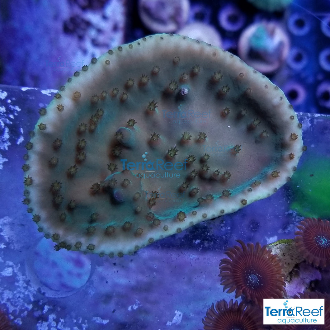 Green Scroll WYSIWYG Coral Frag 1