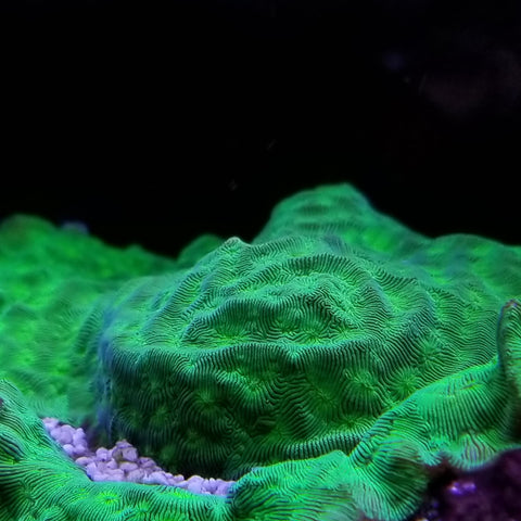 Green Leptoseris Frag Stock