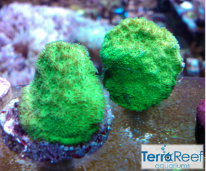 Green Psammocora Frag Stock