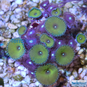 Nuclear Green Paly and Mint Chip Zoanthid WYSIWYG Combo Frag