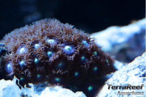 Mint Chocolate Chip Zoanthid Frag Stock