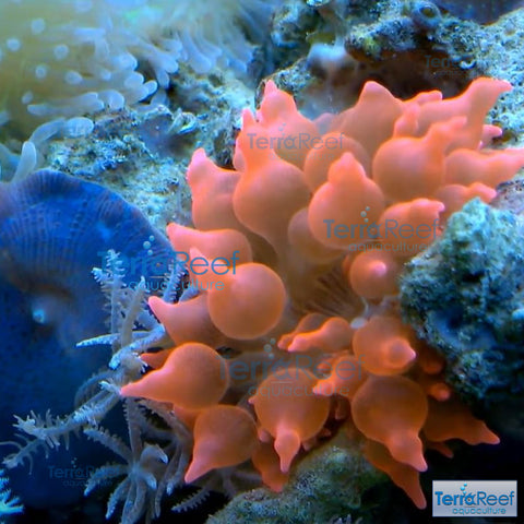 Red Bubble Tip Anemone Stock