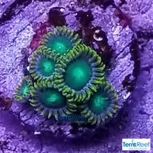 Load image into Gallery viewer, Radioactive Dragon Eyes Zoanthids WYSIWYG Frag 1
