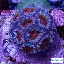 "Load image into Gallery viewer, Red Micromussa ""Acan"" Frag WYSIWYG Frag 5"