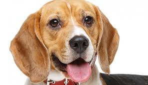 Beagle Nose Issues - Drying, Peeling and Cracking