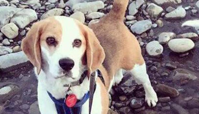 Facts About Beagles | Things Owners Should Know