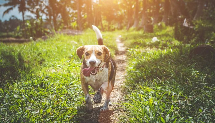 Beagle Winter Care | Changing Needs During Cold Winter