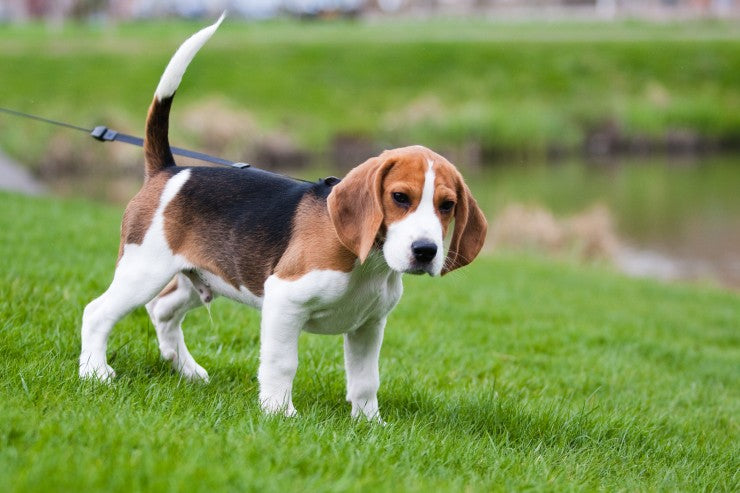 Beagle Frequently Asked Questions