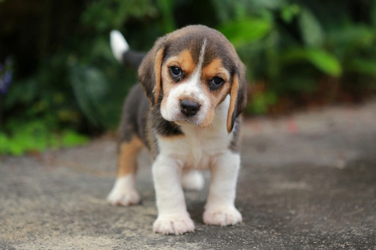 Ten Things You Need To Know About The Beagle Dog Breed Before You Buy One