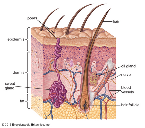 Diagram of cross section of skin tissue