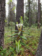 Load image into Gallery viewer, Labrador Tea