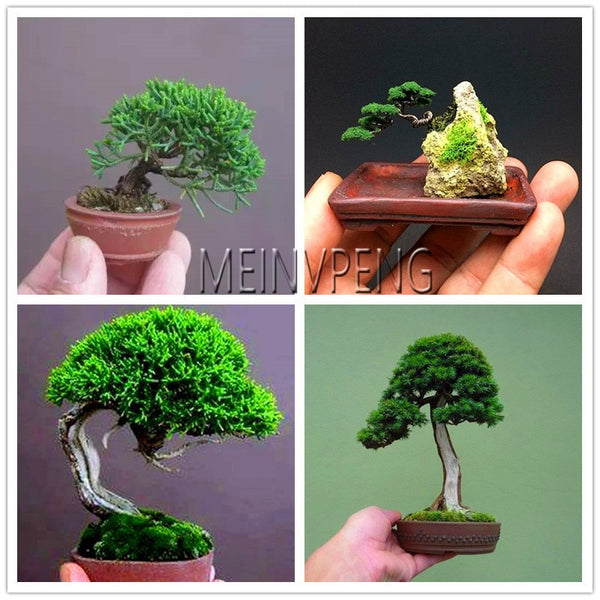 Big Sale Miniature Pine Bonsai Bonsai Tree Plant Indoor Woody Plants Borizcustom