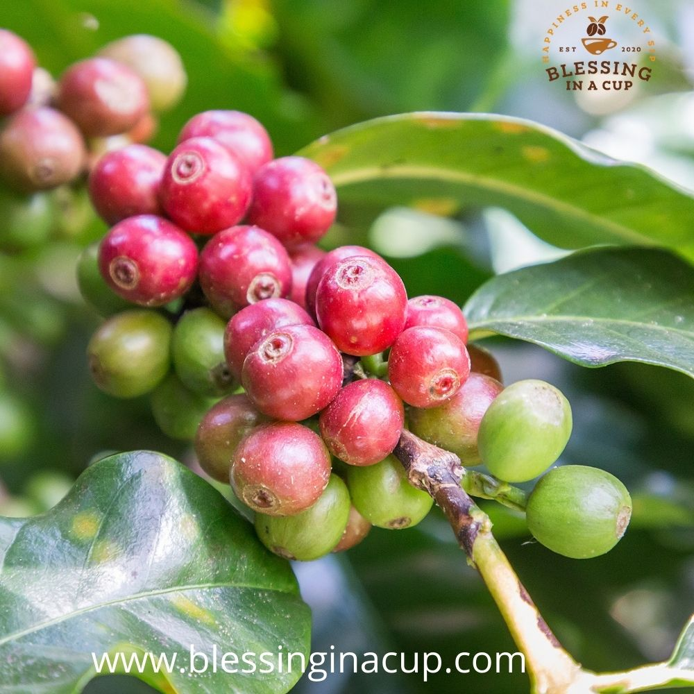 The History of Coffee Plants