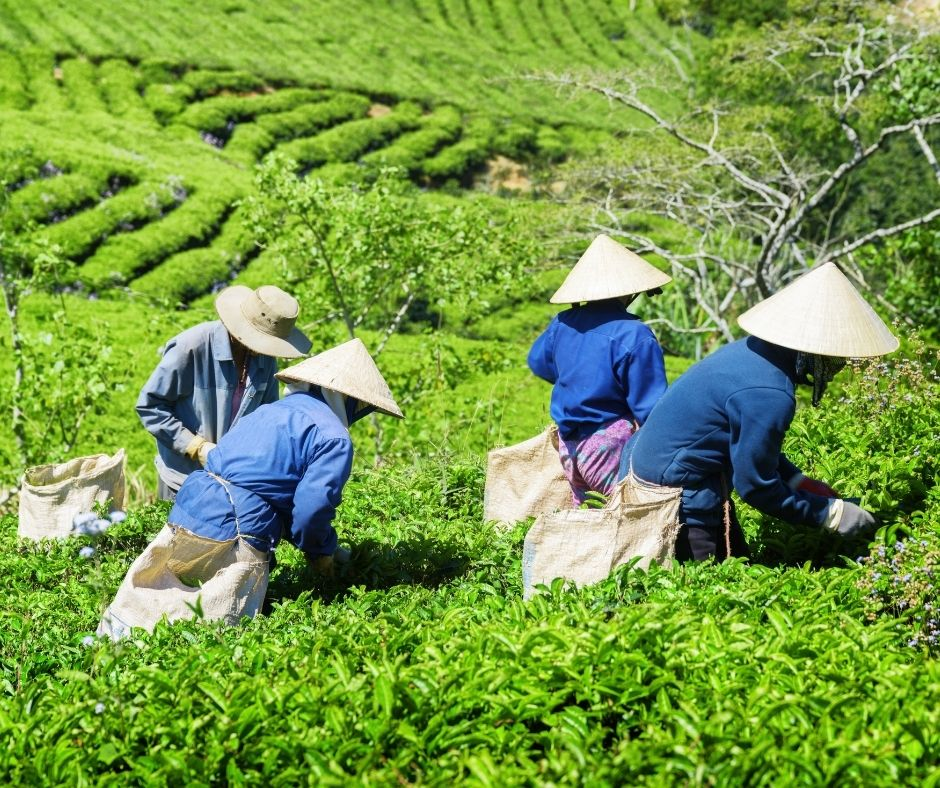 How is Tea Harvested?
