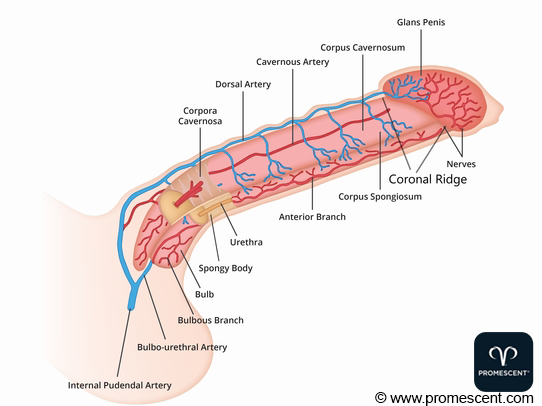 Diagram of Penis Anatomy and Most Sensitive Areas