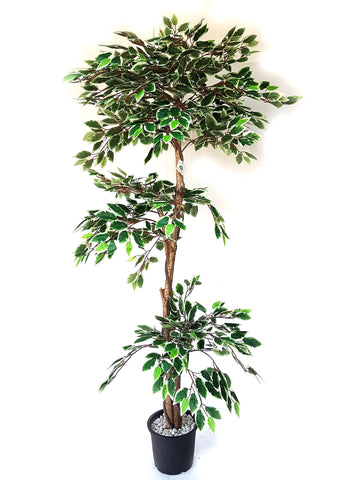 Artificial Variegated Ficus Plant - 5.5 ft