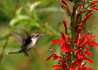 Hummingbird Favorites