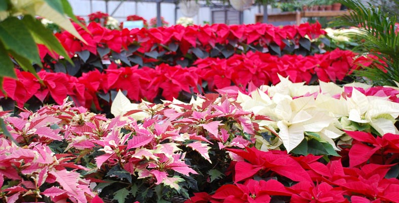 Poinsettias Care Maintenance And Re Blooming Pesches Flowers Garden Center