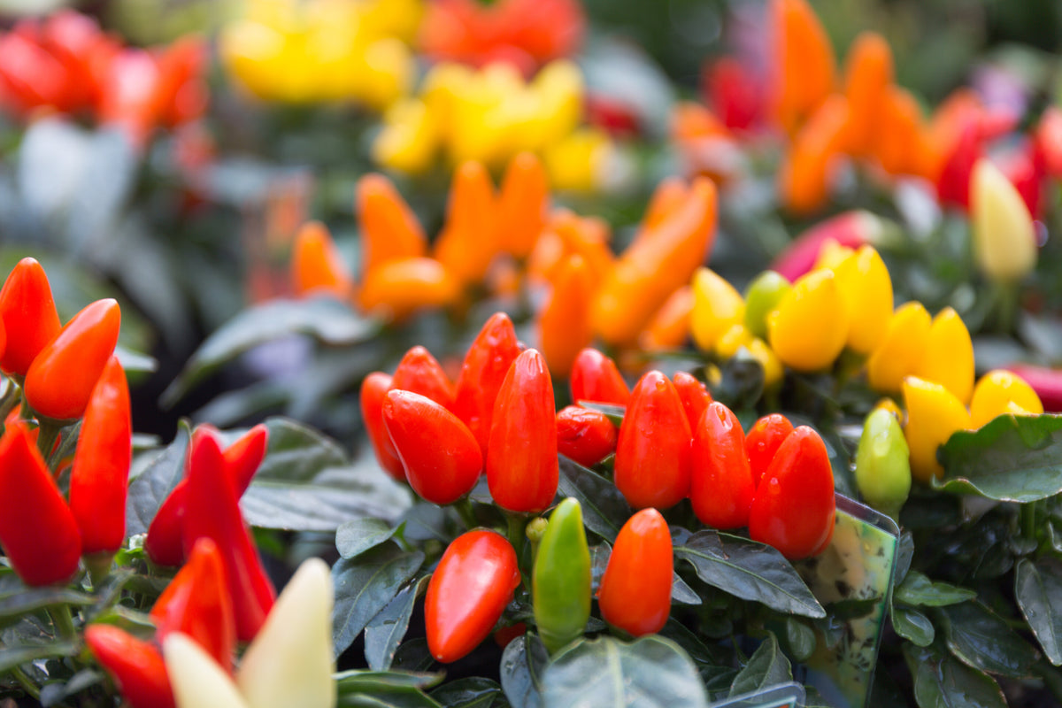 Ornamental Peppers or Chilies