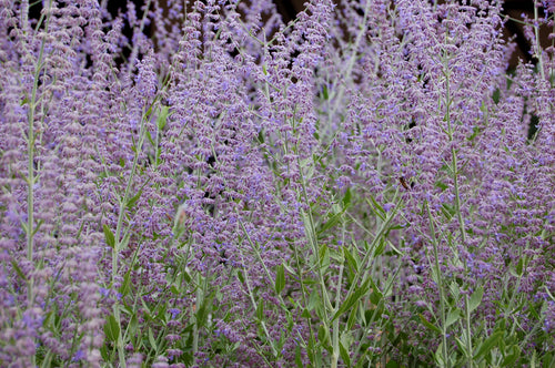 Russian Sage - A Pollinator Magnet!