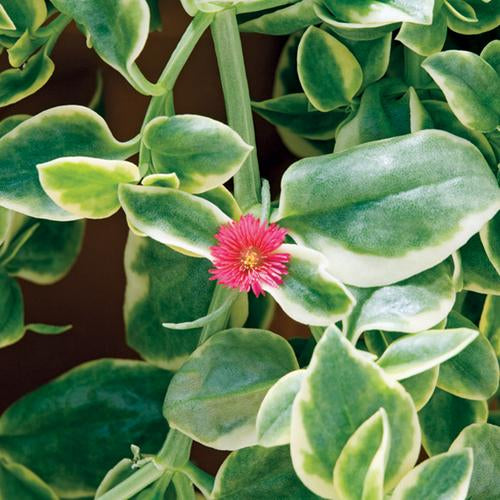 Proven Accents® Mezoo™ Trailing Red Livingstone Daisy