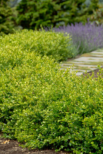 Boxwood: Winter Gem