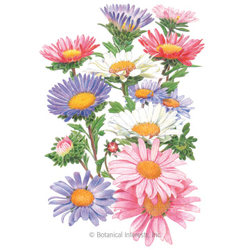 Aster 'China Aster Blend'