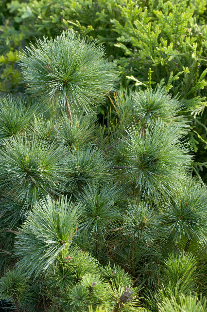 White Pine: Blue Shag