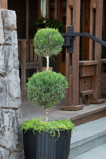 Juniper: Mint Julep Topiary