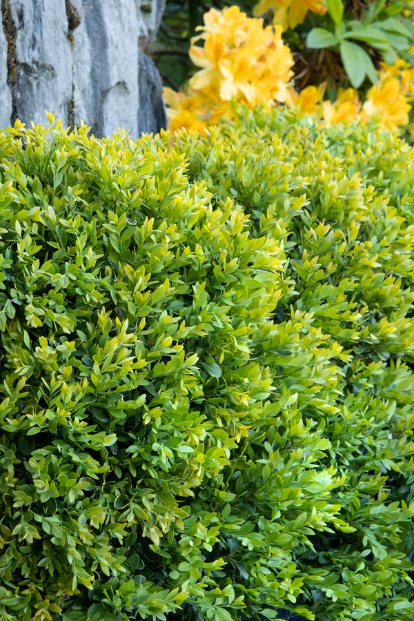 Boxwood: Chicagoland Green