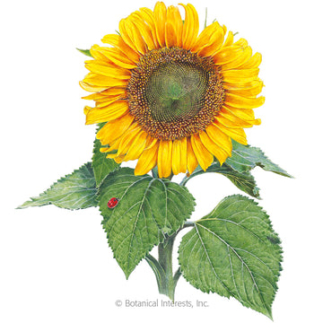Sunflower 'Sunspot Dwarf'