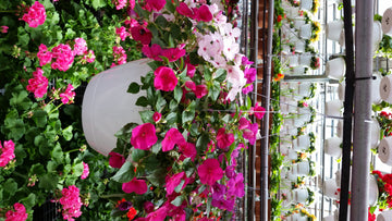 "Impatiens 10"" Hanging Basket - Mixed Colors (Local Delivery Only)"