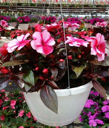 "New Guinea Impatiens 10"" Hanging Basket"