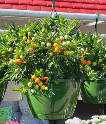 "Jerusalem Cherry 10"" Hanging Basket (Local Delivery Only)"