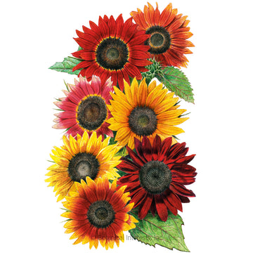 Sunflower 'Heirloom Beauties'