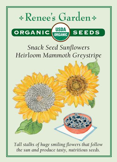 Sunflowers 'Snack Seed Mammoth Greystripe'
