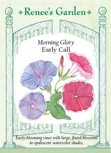 Morning Glory 'Early Call'