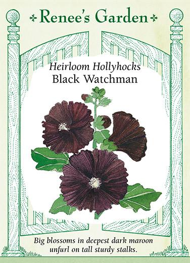 Hollyhocks 'Black Watchman'