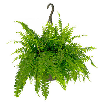 Boston Fern Hanging Basket