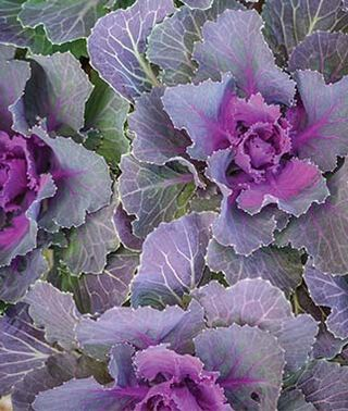 Flowering Cabbage - Red